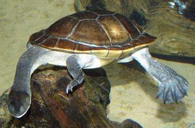 Soft shell turtle neck - photo#38